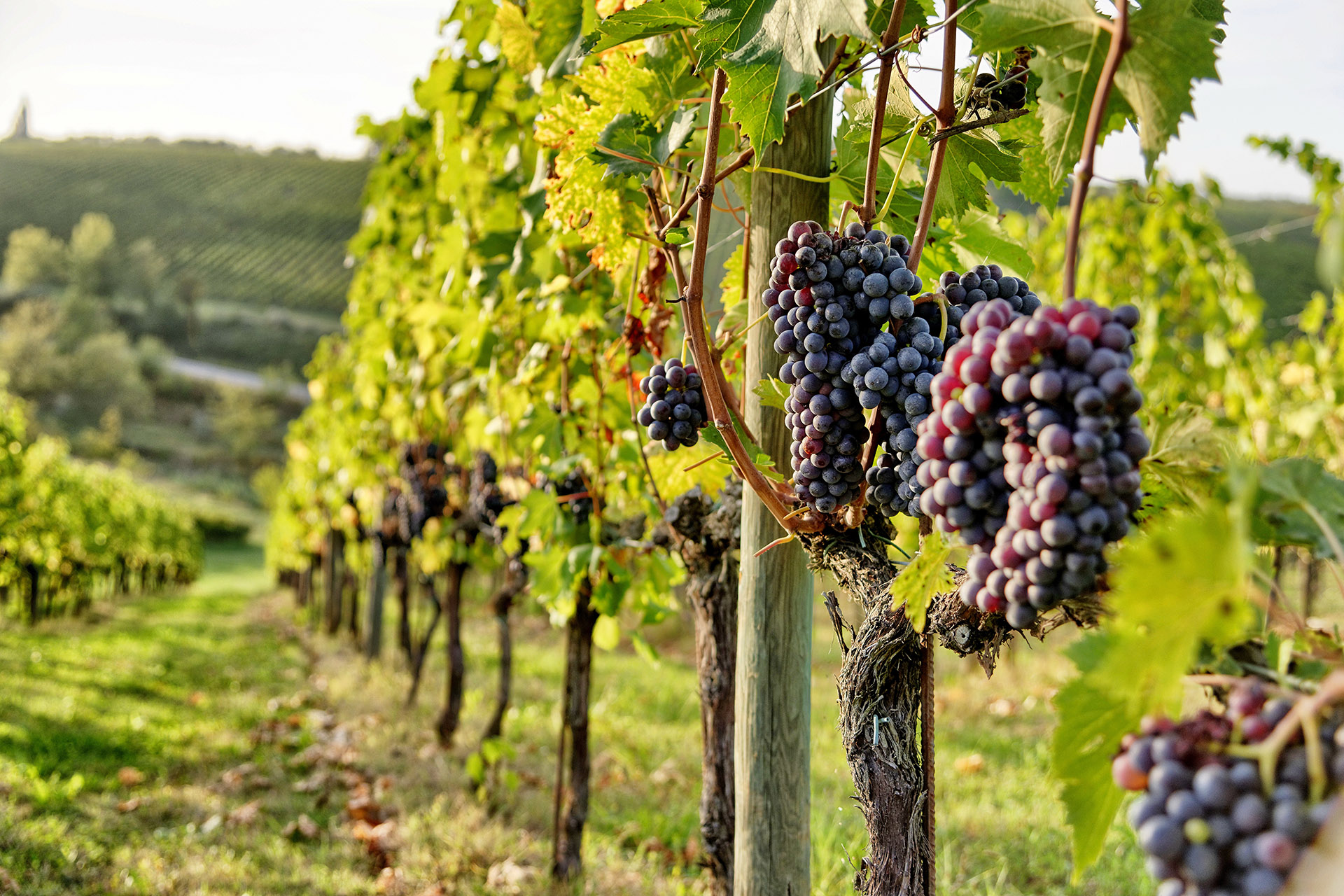 Everything You Need to Know About Sangiovese